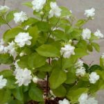 Keep Jasmine Plant in Your Room. It Reduces Anxiety, Panic Attacks and Depression